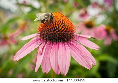 Common eastern bumblebee on pink daisy flower in closeup