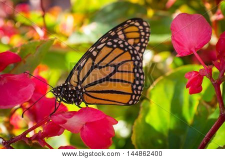 Close up monarch butterfly with pretty summer flowers