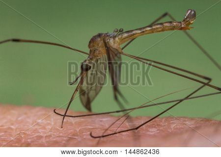 Close up macro disgusting mosquito biting human skin