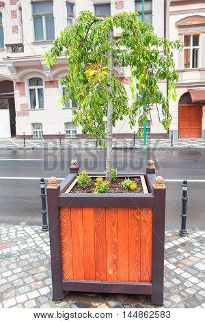 ornamental tree growing in the wooden flowerpot on the street