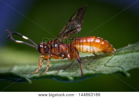 Close up macro tiny infant Ichneumon wasp on green leaf