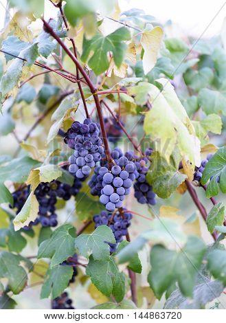 Grape vines at harvest time in Moldova