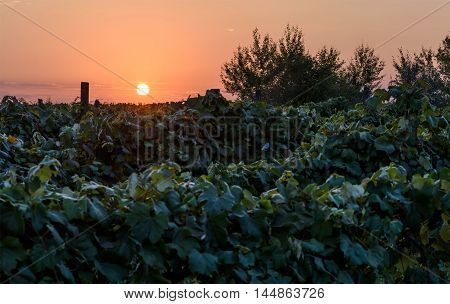 Sunset at fields of vines in Moldova dark and low light with red sky