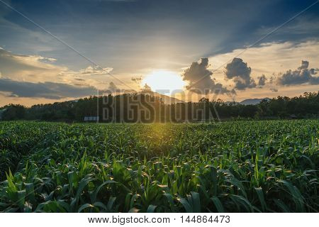 Corn field with the last rays of sunset.