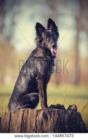 Black not thoroughbred dog sits on a stub.
