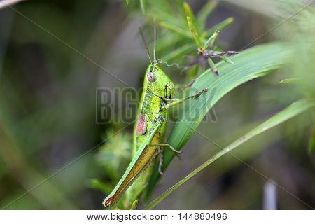 A Small Gold Grasshopper (Euthystira brachyptera) in a meadow.