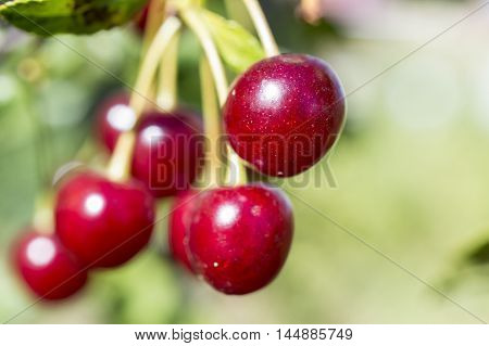 Ripe red cherry on a tree branch
