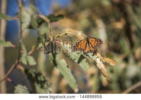 Orange Monarch butterfly on eucalyptus tree leaves in Pismo Beach, California