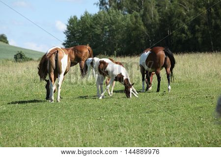 Batch Of Paint Horses On Pasturage