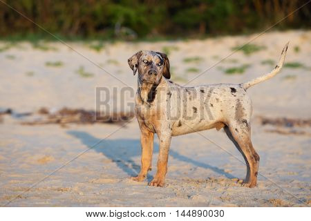 adorable catahoula puppy posing on a beach