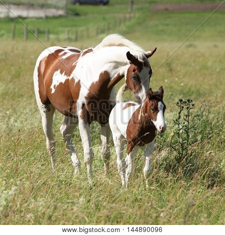 Young Paint Horse With Little Foal Moving Together