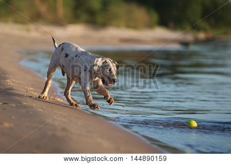 happy catahoula puppy playing on the beach