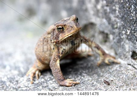 brown toad climbing on stone closeup natural environment