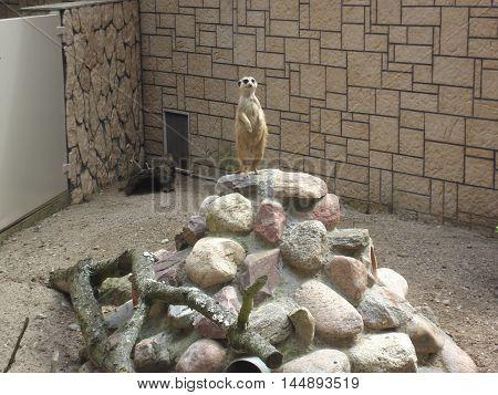 Meerkat standing on top of a stone