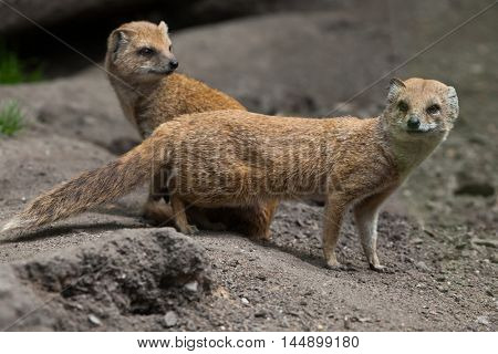 Yellow mongoose (Cynictis penicillata). Wildlife animal.
