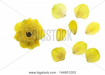 Set of pressed and dried flower and petals trollius europaeus. Isolated on white background. For use in scrapbooking floristry (oshibana) or herbarium.