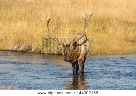a nice bull elk in a river during the fall rut