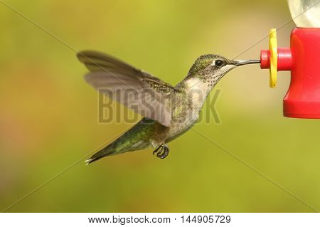 Juvenile Ruby-throated Hummingbird (archilochus colubris) in flight at a feeder with a green background