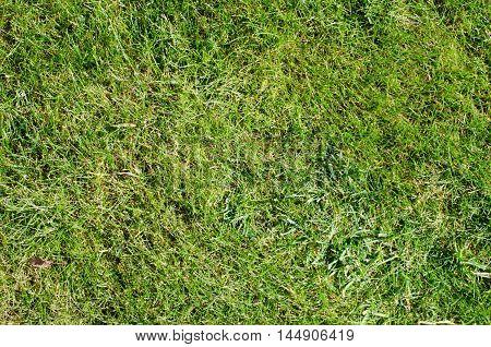 Background of fresh green grass in summer