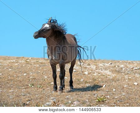 Windblown Aggressive Grulla colored Band Stallion on Sykes Ridge in the Pryor Mountains in Montana - Wyoming USA. Some of these were the same horses filmed in the PBS television series on