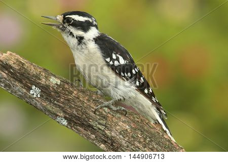 Female Downy Woodpecker (Picoides pubescens) on a perch with a colorful background