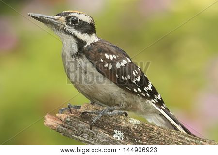 Juvenile Hairy Woodpecker (Picoides villosus) on a branch colorful background