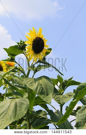 Decorative sunflower on the blue sky background
