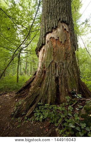 Big Old Tree In Natural Forest