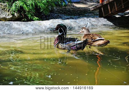 Mandarin duck at water at the zoo