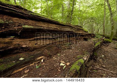 overturned rotten big old tree in natural forest, nature reserve