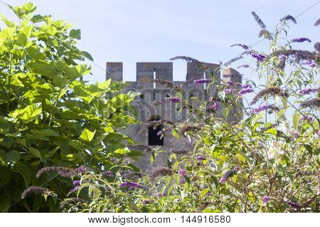 tower of Carcassonne behind some lilac flowersFrance