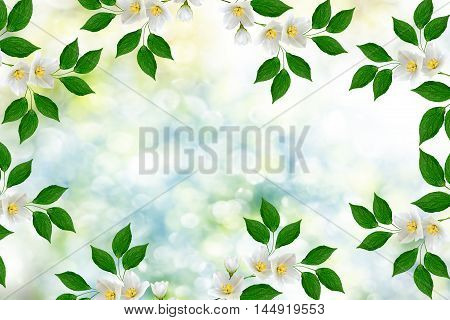 White jasmine The branch delicate spring flowers