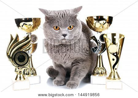 British Shorthair cat on a white background with its award winning