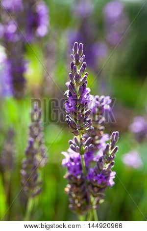 close up of lavender flower in the field