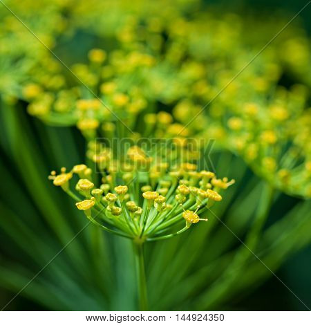 Dill Flowers.