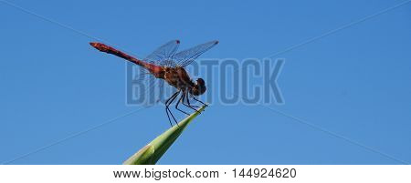 dragonfly on a background of blue cloudless sky