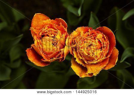 Beautiful orange tulips on a green leafs background