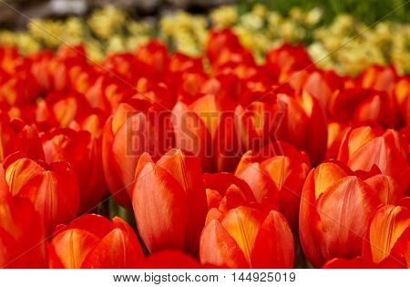 Field of beautiful red tulips. Holland. Park of flower