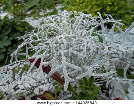 photo manipulation oil paint background of terry fluffy white silvery leaves Cineraria