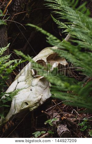 Bull Skull Among Green Fern Leaves