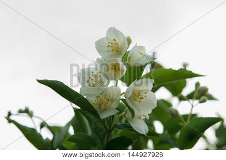 jasmine spring flowers with raindrops . On a white background