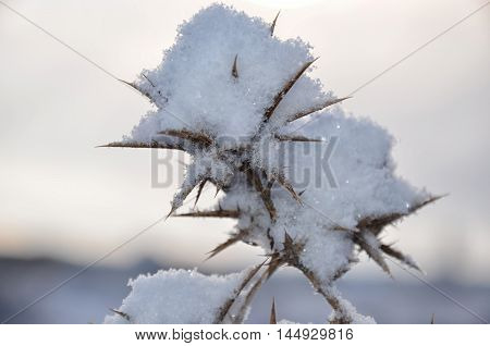 Thorn in the snow at sunset close-up