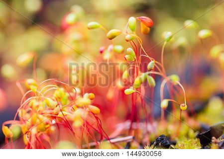 Colorful nature background with red macro moss spores. Shallow focus