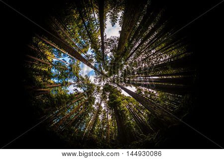 Redwood Forest Fisheye, Color Image, Northern California, USA