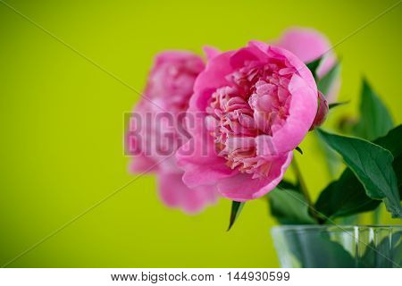 beautiful pink peonies on a green background