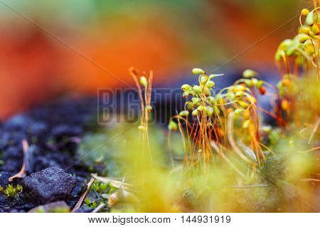 Selective focus of moss spores on colorful blurred background. Autumnal forest