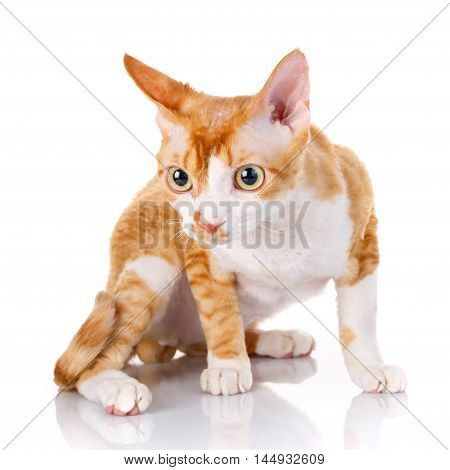Orange devon rex cat siting on white background and looking in camera