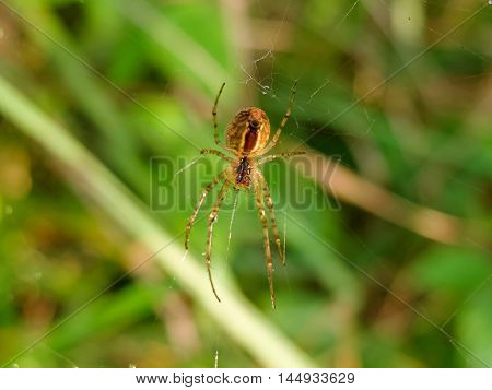 The spider weaves a web. Spider catches on the nature of the victims in the network. Insect arthropod predator.
