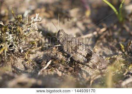 Blue-winged Grasshopper (Oedipoda caerulescens) female resting on sand
