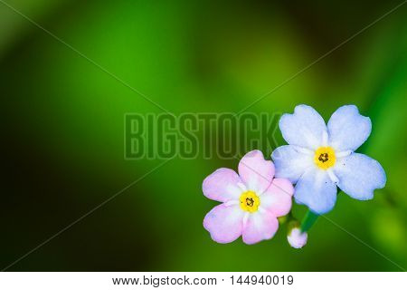 Natural green background with spring forget me not flowers. Copy space